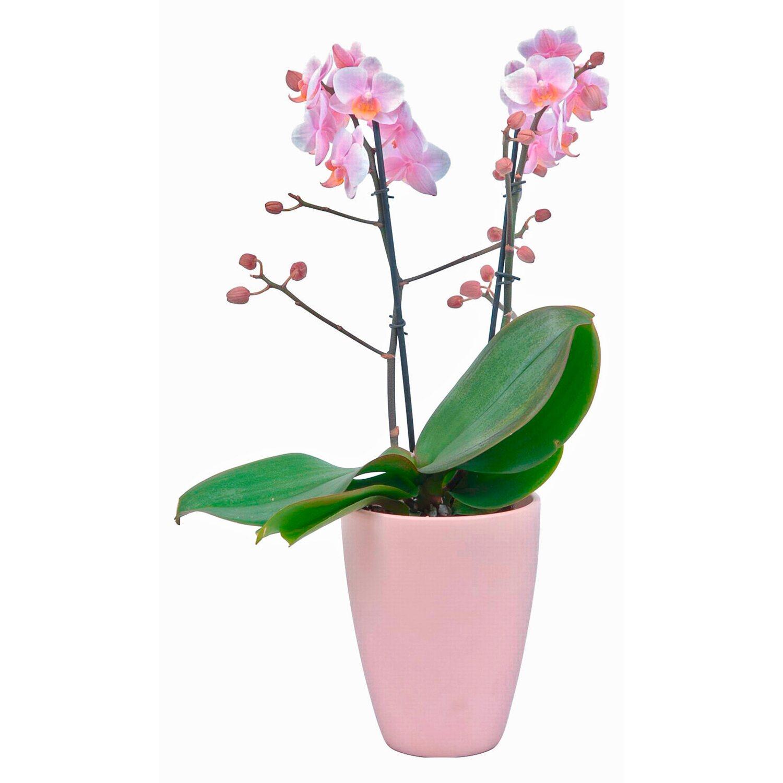 Orchidea phalaenopsis multiflora amaglad 2 gambi rosa - Vaso in gres per orchidee ...