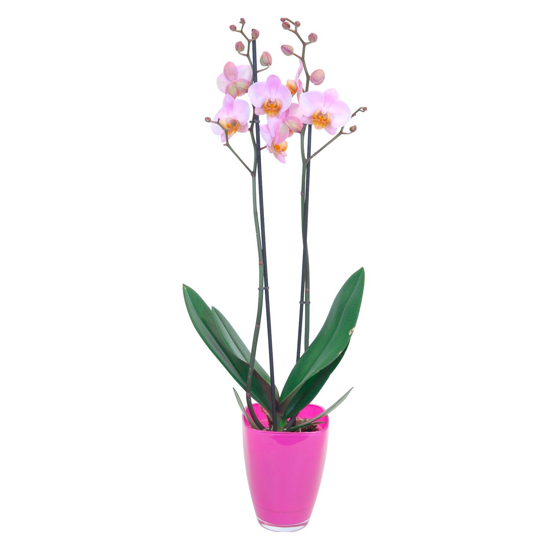 Orchidea phalaenopsis multiflora 2 gambi rosa in vetro for Orchidea prezzo