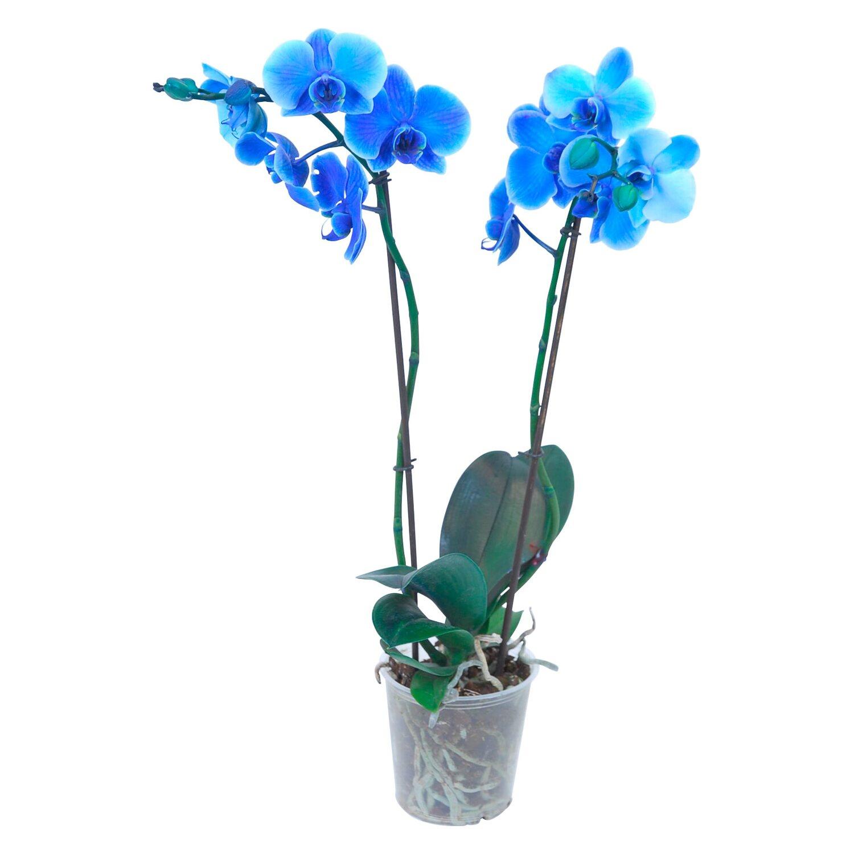 orchidea phalaenopsis blu