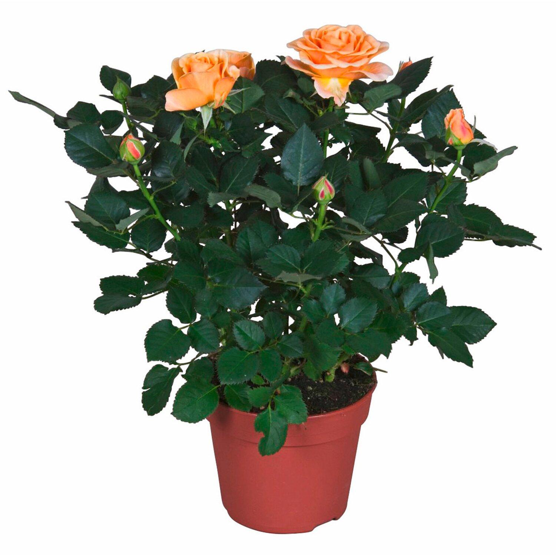 Rosa arancione vaso ca 13 cm acquista da obi for Roselline in vaso