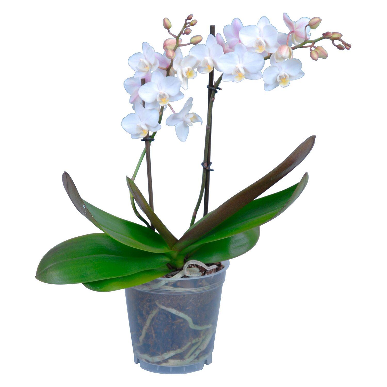 Fiori Orchidea Bianchi.Orchidea Phalaenopsis Multiflora 2 Gambi 18 Fiori Bianchi Obi