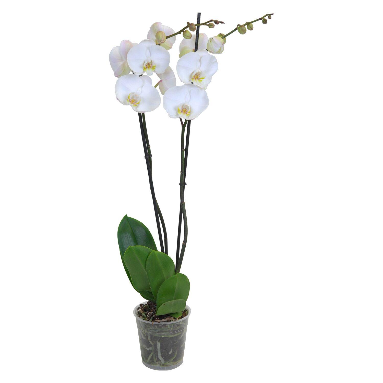 Fiori Orchidea Bianchi.Orchidea Phalaenopsis 2 Gambi 18 Fiori Bianchi Obi