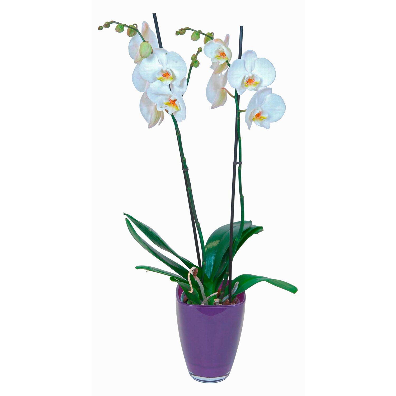 Orchidea phalaenopsis bianca 2 gambi vaso di vetro lilla for Vaso orchidea