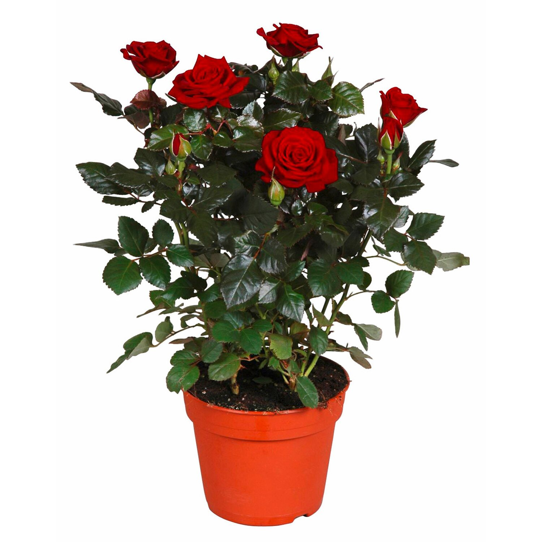 Rosa rossa vaso ca 13 cm acquista da obi for Roselline in vaso