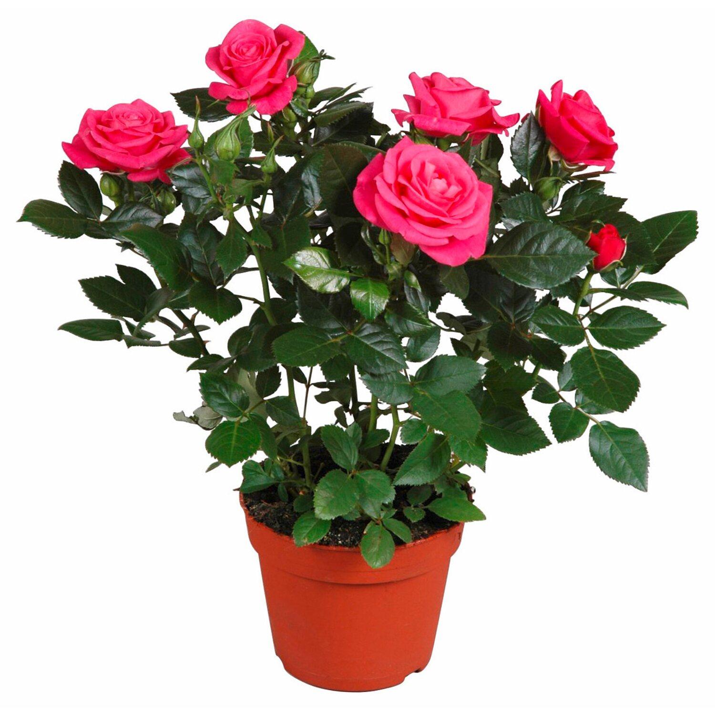 Rosa rosa scuro vaso ca 13 cm acquista da obi for Roselline in vaso