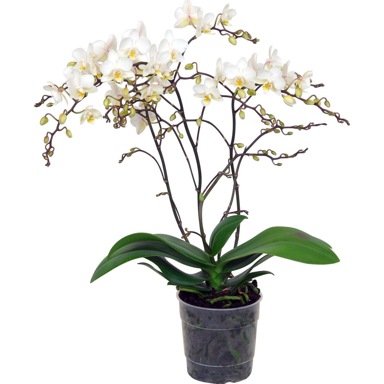 Orchidea phalaenopsis jungle orchid 4 gambi bianca for Orchidea prezzo