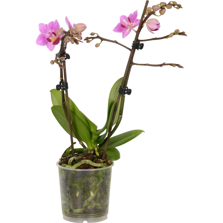 Orchidea phalaenopsis bianca 2 gambi diversi colori vaso 9 for Orchidea prezzo