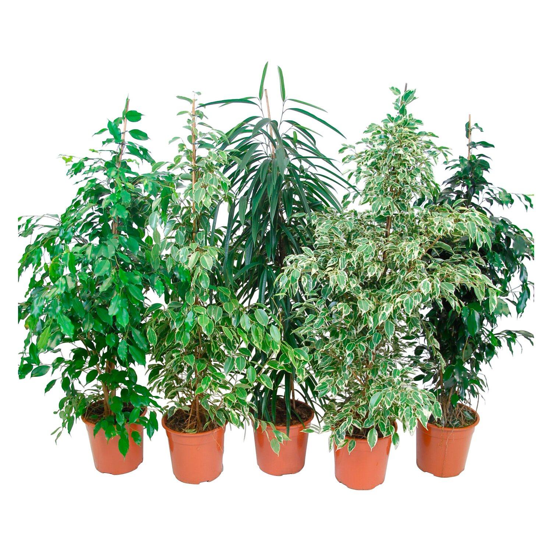 Cura Del Ficus Benjamin ficus benjamina vaso Ø ca. 27 cm | obi