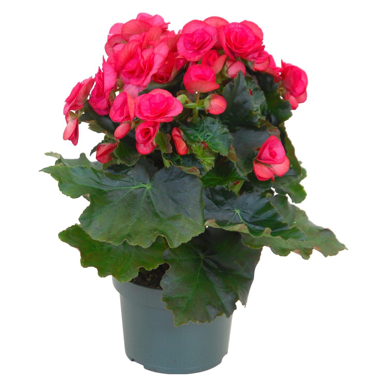 Begonia elatior rosa vaso 13 cm acquista da obi for Roselline in vaso