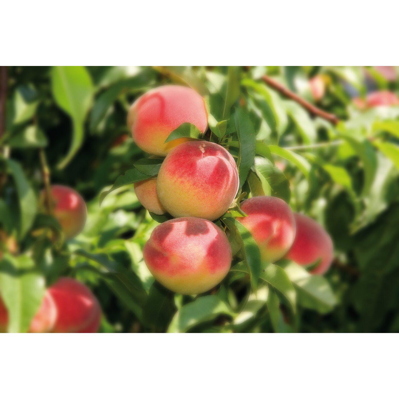 Albero da frutto pesco noce vaso 6 l acquista da obi for Catalogo alberi da giardino