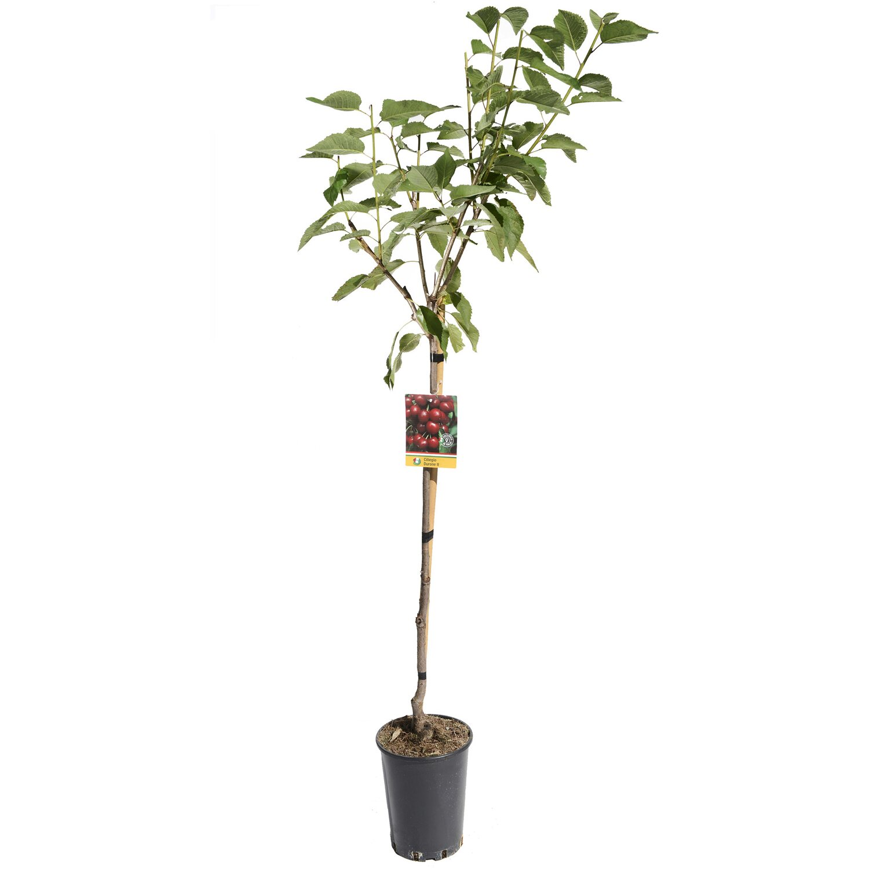 Albero da frutto ciliegio vaso 6 l acquista da obi for Alberi da frutto in vaso