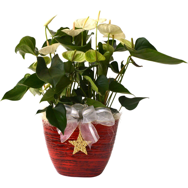 Anthurium Cura Della Pianta composizione anthurium vaso ceramica rosso | obi