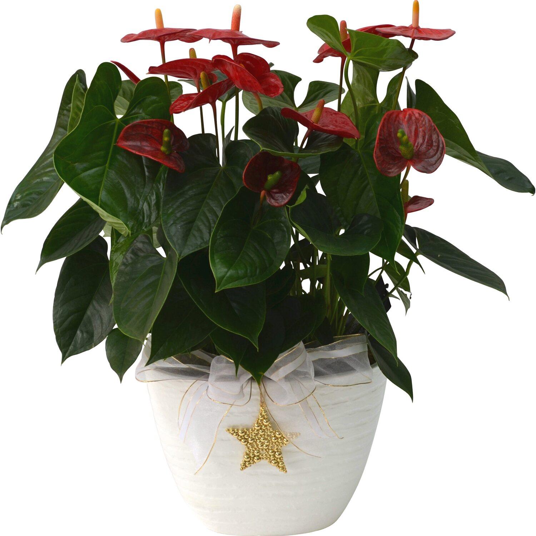 Composizione Vasi Da Balcone composizione anthurium vaso ceramica bianco | obi