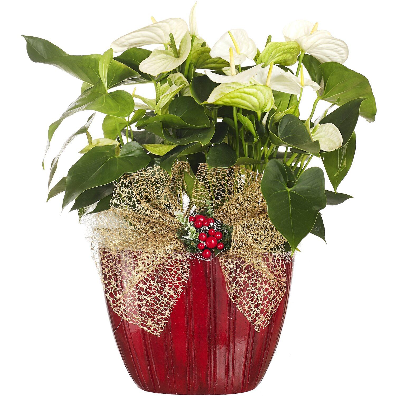 Anthurium Cura Della Pianta composizione anthurium vaso ceramica bianco | obi