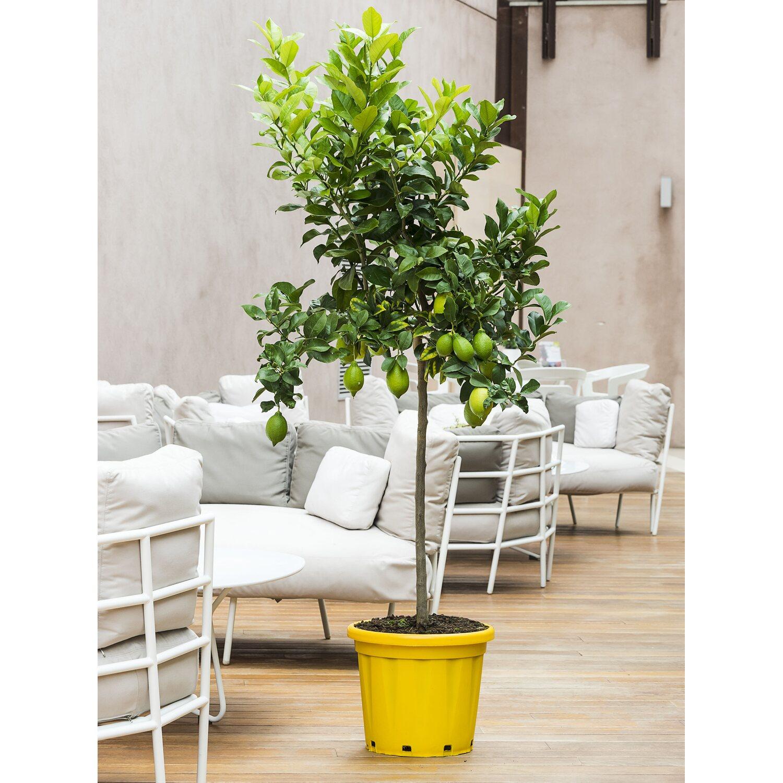 Piante Da Frutto Sempreverdi albero da frutto citrus limon limone