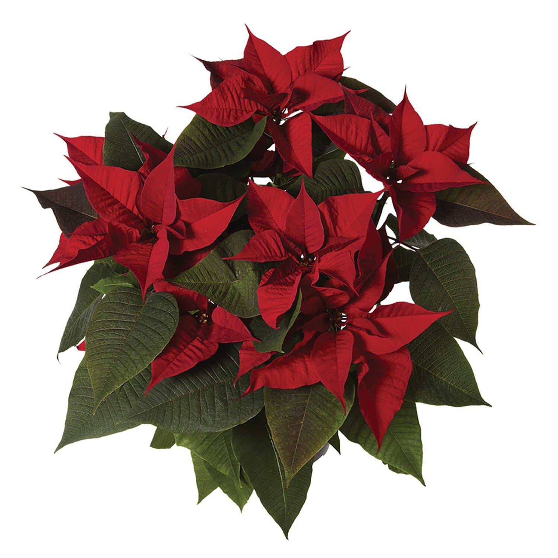 Prezzo Stella Di Natale.Stella Di Natale O 18 Cm Rossa