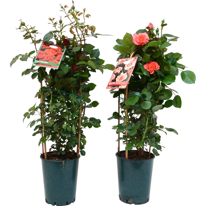 Rosa Rampicante In Vaso rosa doppio arco