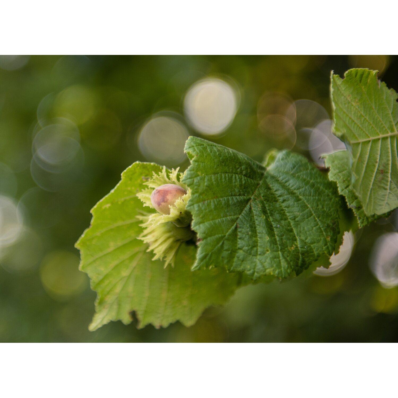 Foto Di Alberi Da Frutto albero da frutto nocciolo `tonda di giffoni` vaso 6 l