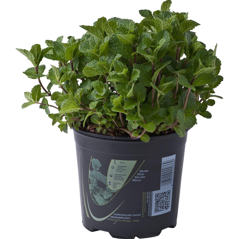 Piante Rustiche Da Balcone pianta di menta 14 cm
