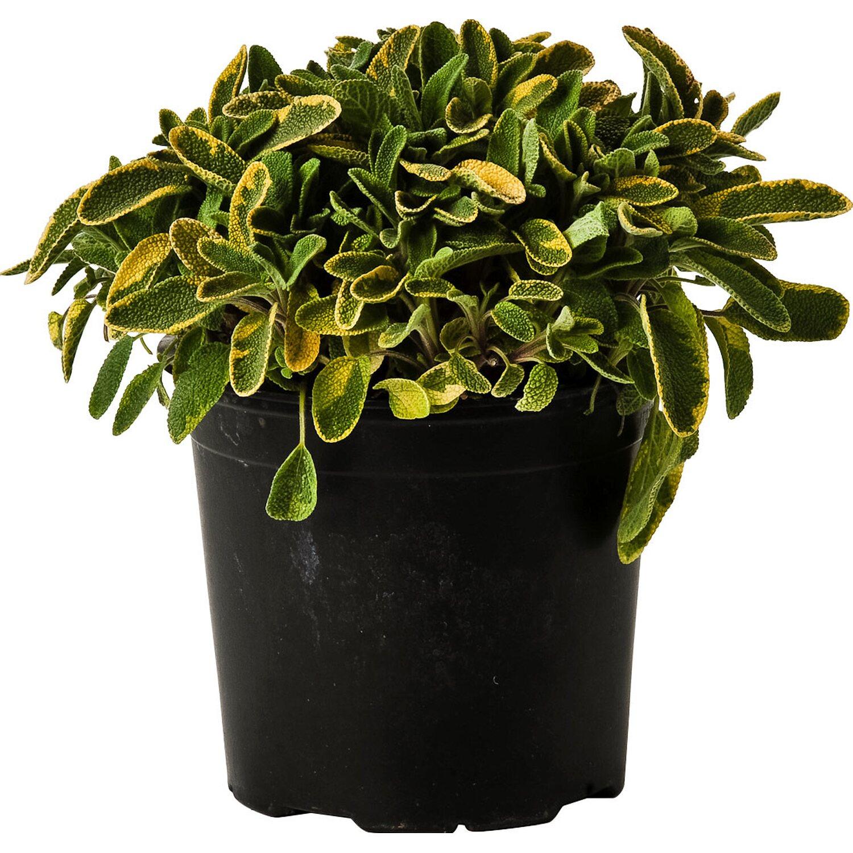 pianta di salvia icterina 14 cm acquista da obi