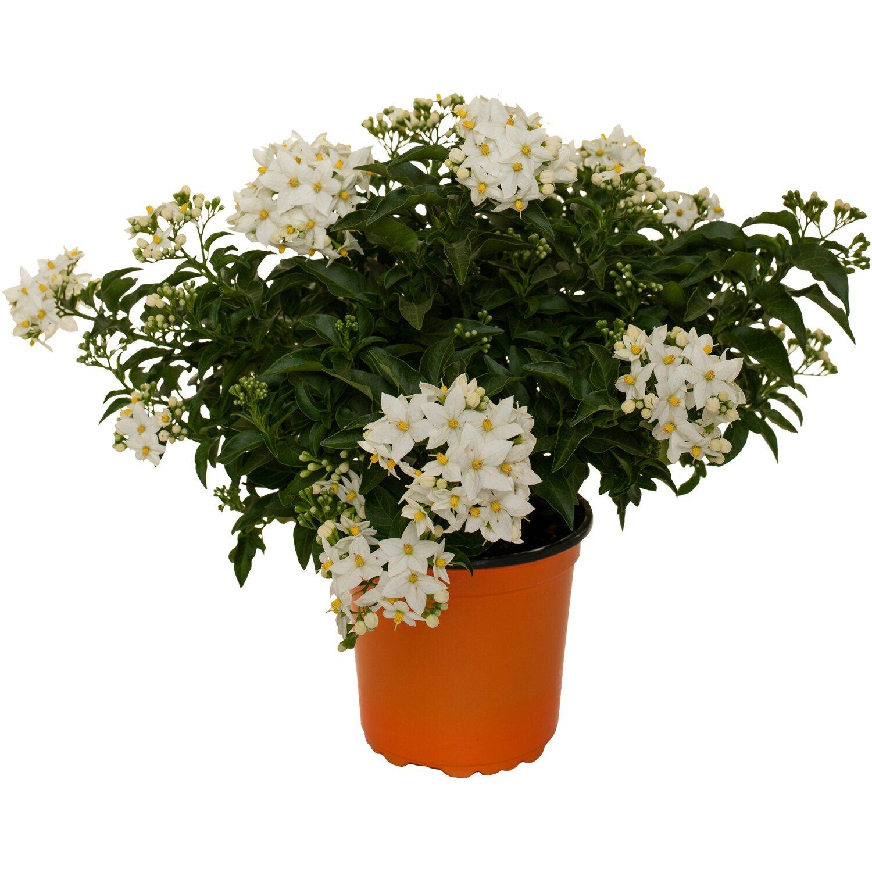 Rampicanti Adatti In Vaso solanum jasminoides vaso Ø cm 14