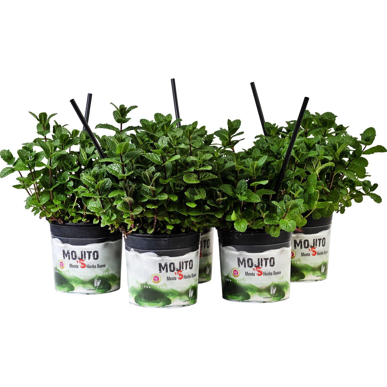 Piante Rustiche Da Balcone pianta di menta mojito 14 cm | obi
