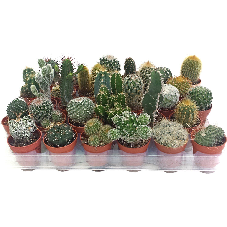 Piante Grasse Piccole Prezzi cactus selezione mix in vaso Ø 5,5 cm
