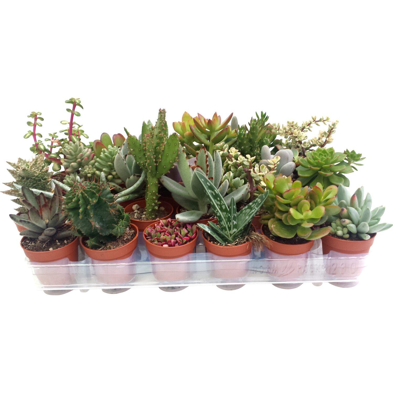 Succulente selezione mix 5 5 cm acquista da obi for Vendita piante grasse on line