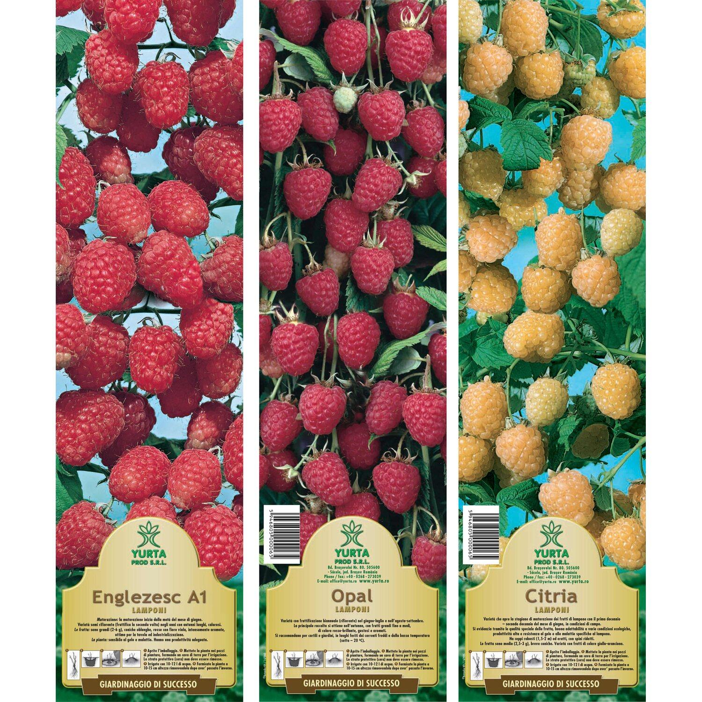 Come Coltivare I Lamponi arbusto da frutto lamponi in pack
