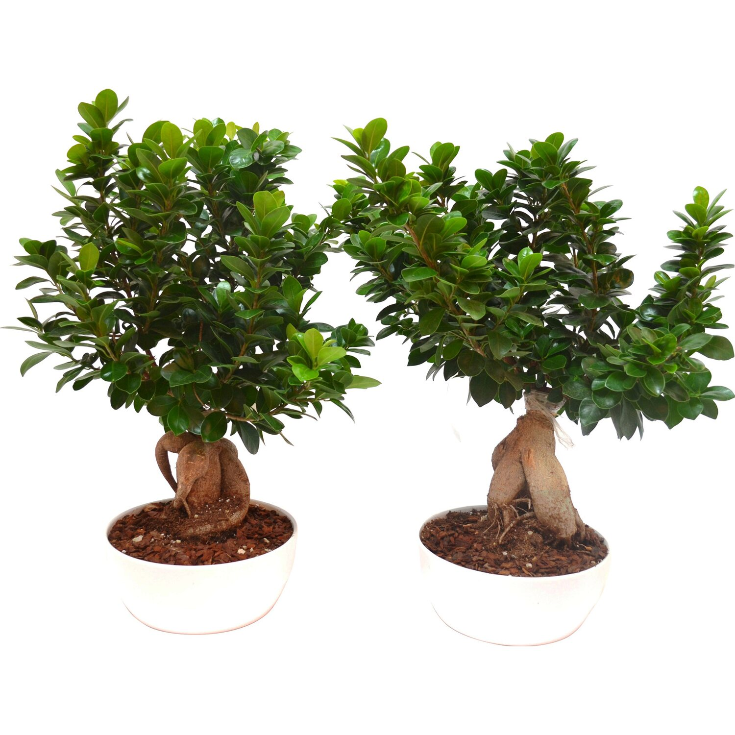 Bonsai ficus ginseng microcarpa vaso 23 cm acquista da obi for Piante per bonsai