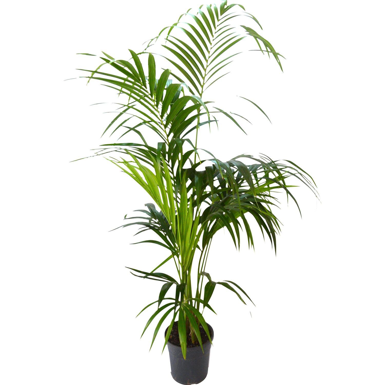 Kentia 2 piante vaso 23 cm acquista da obi for Piante da vaso perenni
