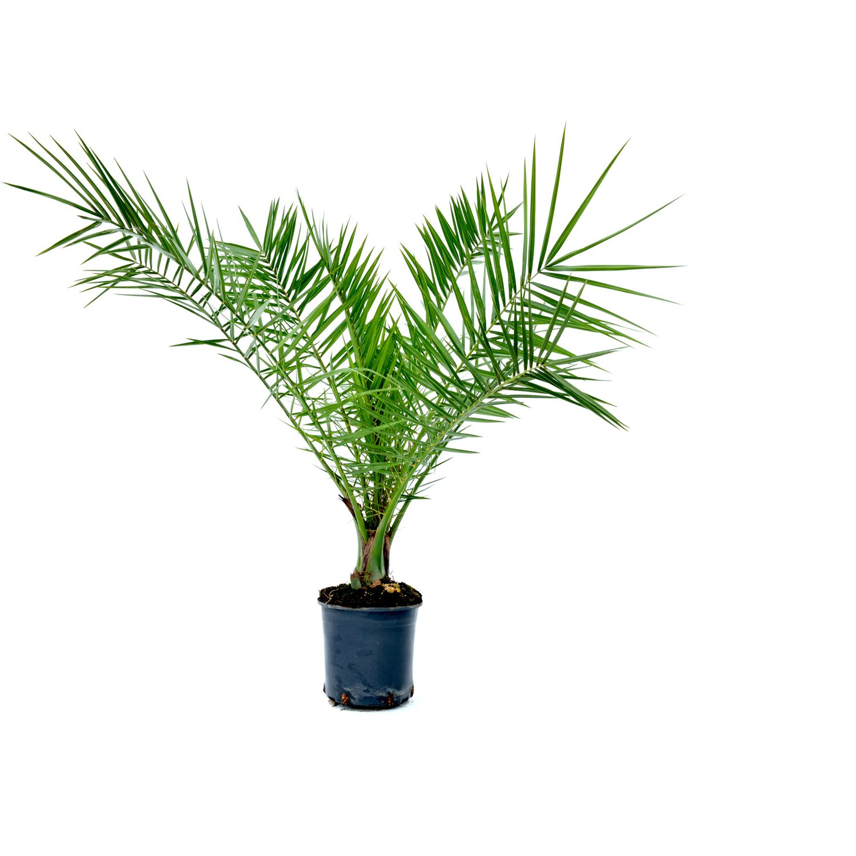 Palme Da Vaso Per Esterno phoenix canariensis h cm 40