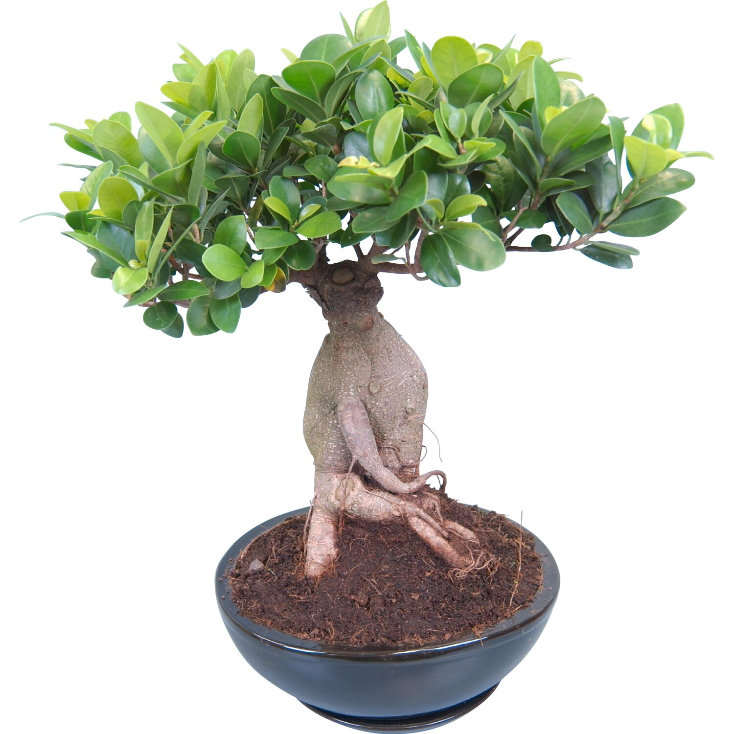 bonsai ficus ginseng in vaso di ceramica 22 cm acquista da obi. Black Bedroom Furniture Sets. Home Design Ideas