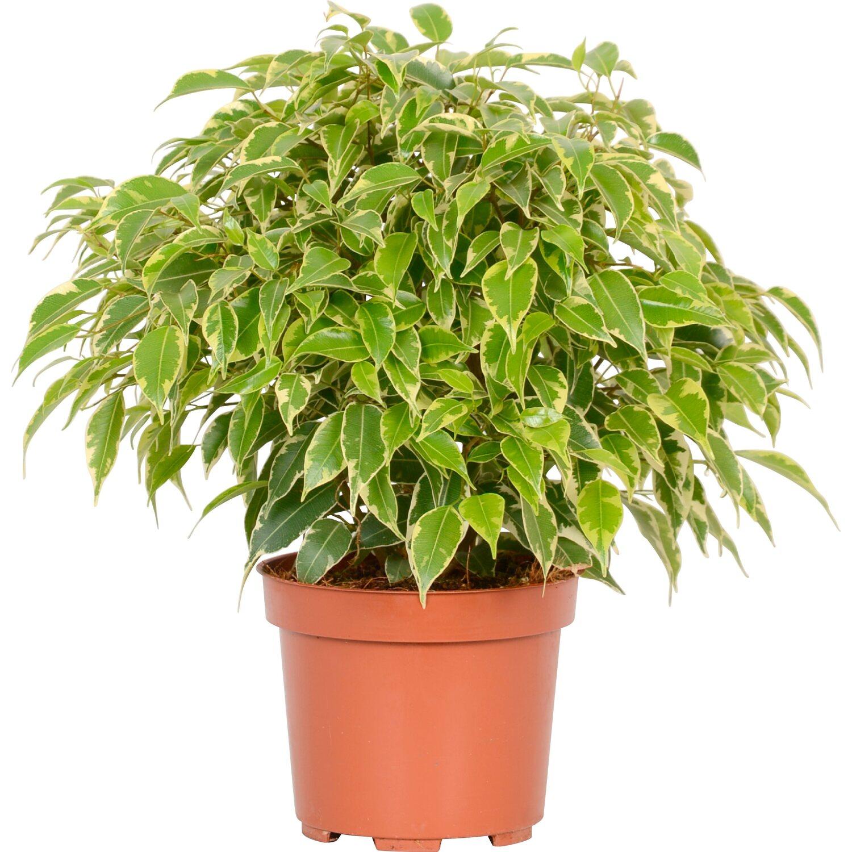 "Cura Del Ficus Benjamin ficus benjamina ""kinky"" Ø 12 cm | obi"
