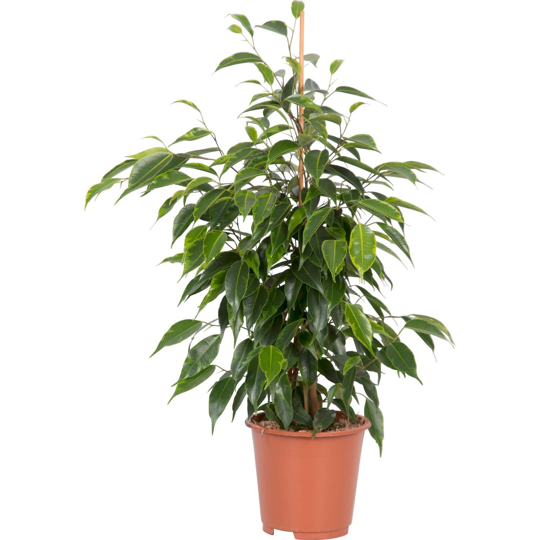 Cura Del Ficus Benjamin ficus benjamina Ø 14 cm | obi
