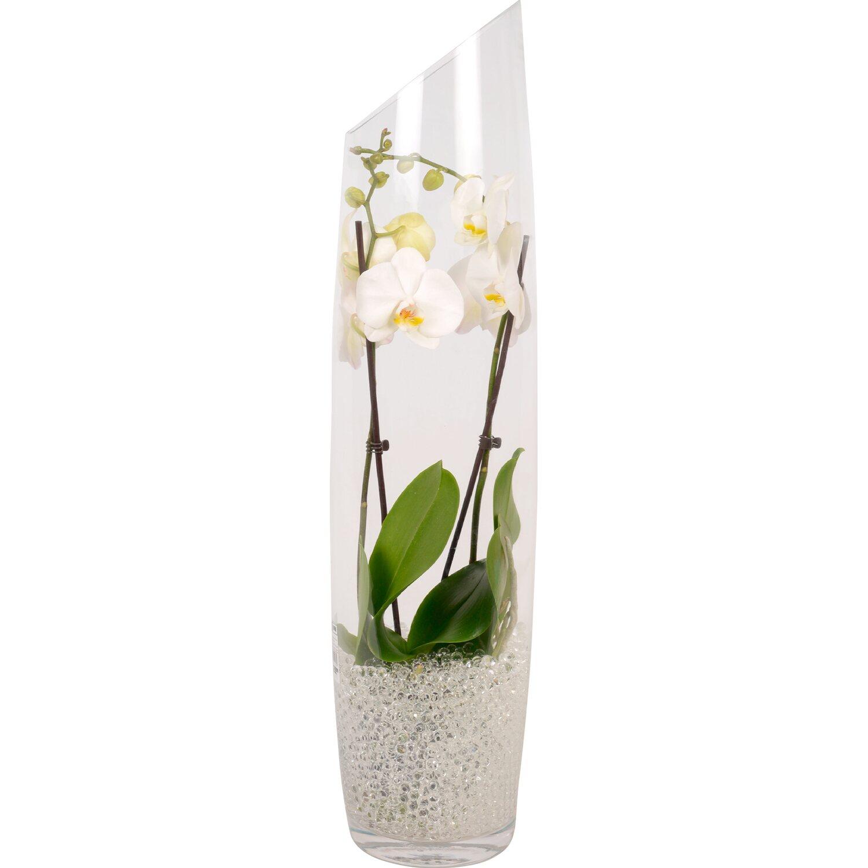 Orchidea phalaenopsis 2 rami in vaso di vetro acquista da obi - Vasi per orchidee ...