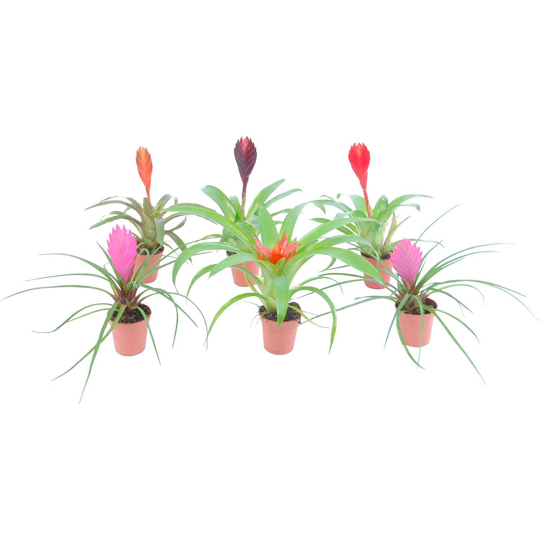 Bromelia mini vaso 5 5 cm bromeliaceae acquista da obi for Tillandsia prezzo