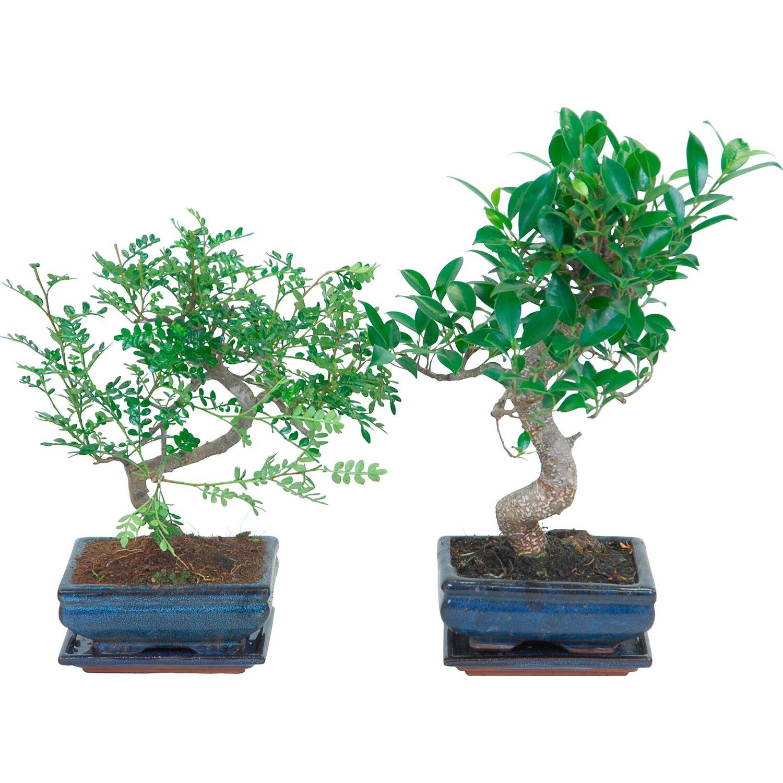 Bonsai con sottovaso 16 cm acquista da obi for Accessori per bonsai