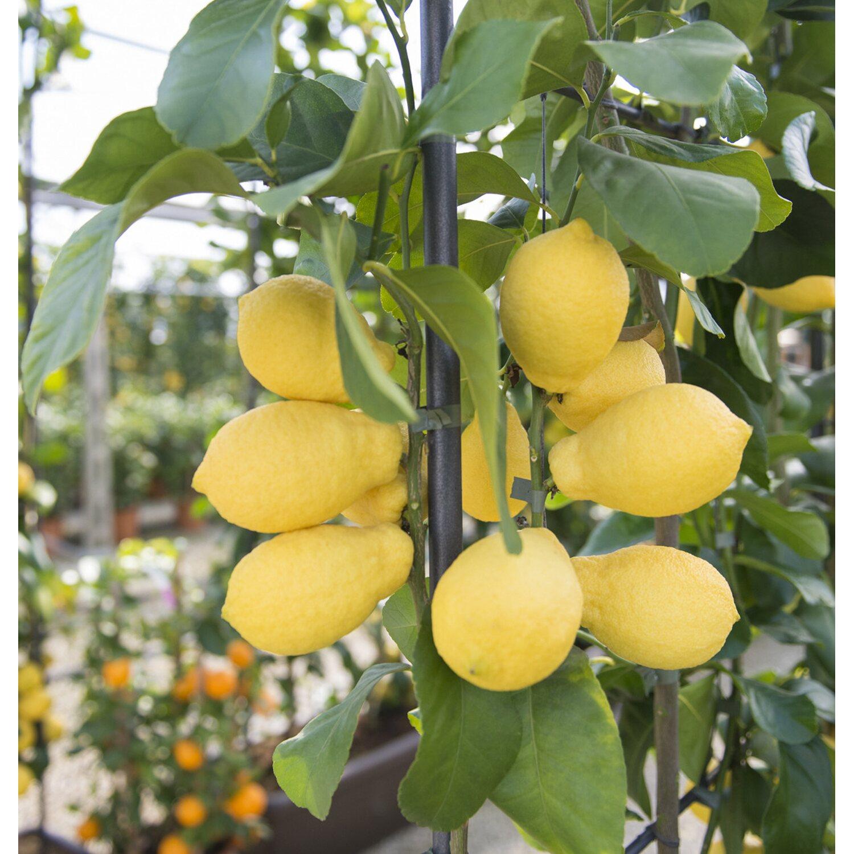 Alberi Nani Da Giardino albero da frutto limone mezzo fusto