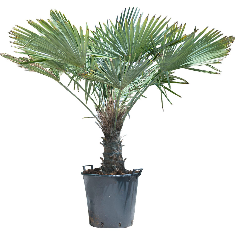 Palme Da Vaso Per Esterno palma rustica tronco 40/50 cm