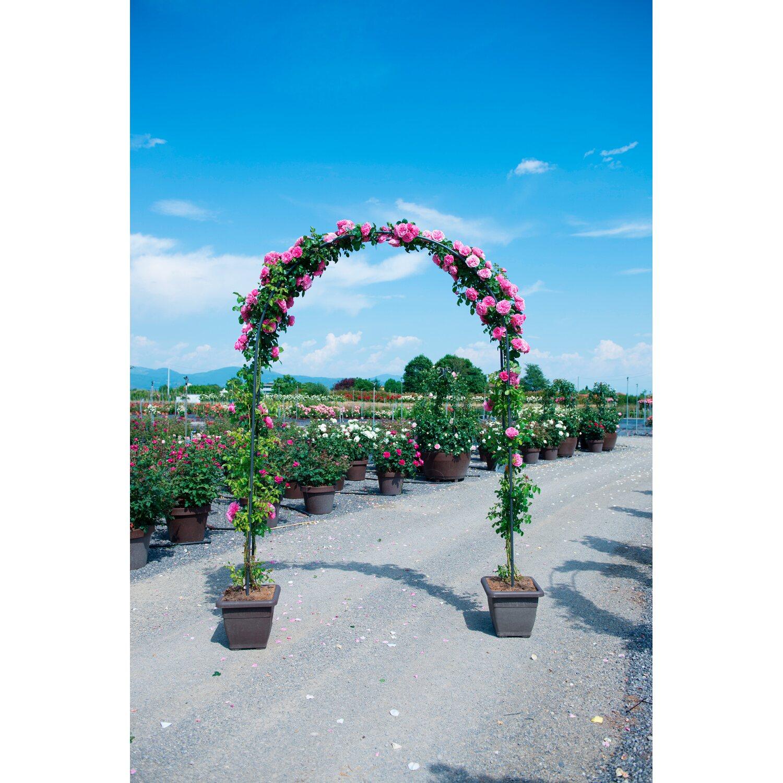 Tutori Per Rose Rampicanti rosai rampicanti ad arco in varietà vaso 40 l