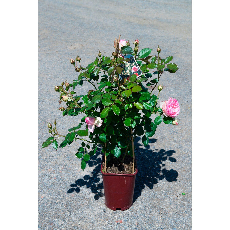 Rampicanti Adatti In Vaso rosai rampicanti forma a cono vaso 6 l | obi