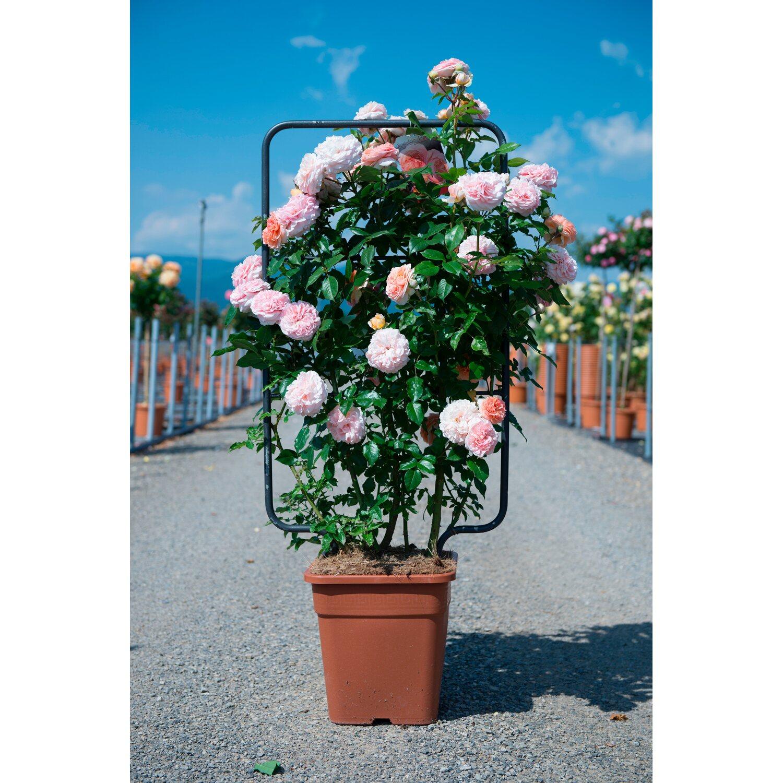 Rosa Rampicante In Vaso rosai rampicanti a spalliera