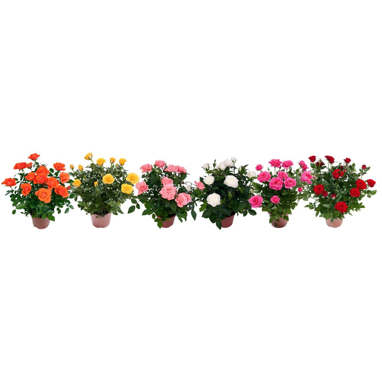Rose da obi tutto per il fai da te la casa il giardino for Roselline in vaso