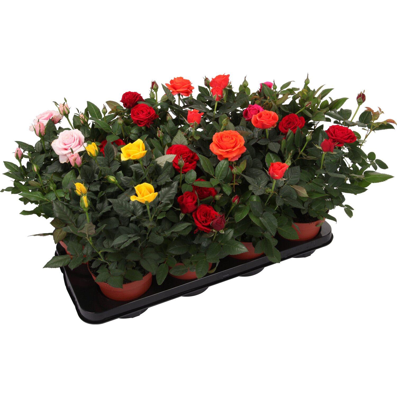 Roselline in vaso 12 cm disponibili in vari colori for Roselline in vaso