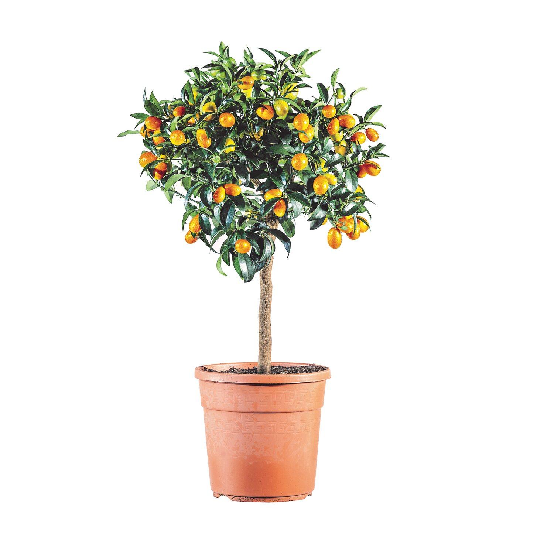 Piante Da Frutto Sempreverdi albero da frutto citrus fortunella margherita kumquat