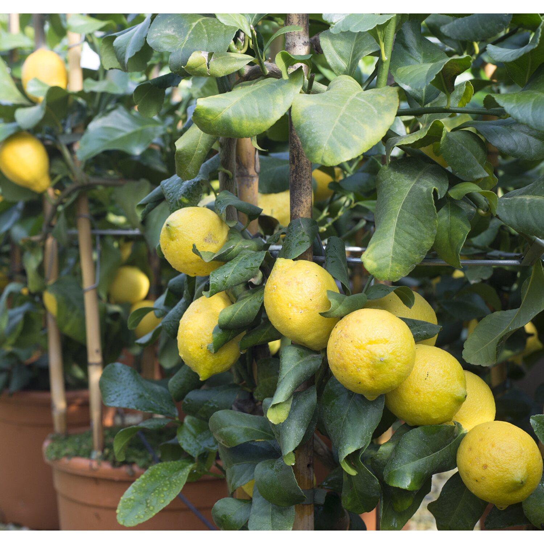 Alberi Nani Da Giardino albero da frutto limone forma a cerchio