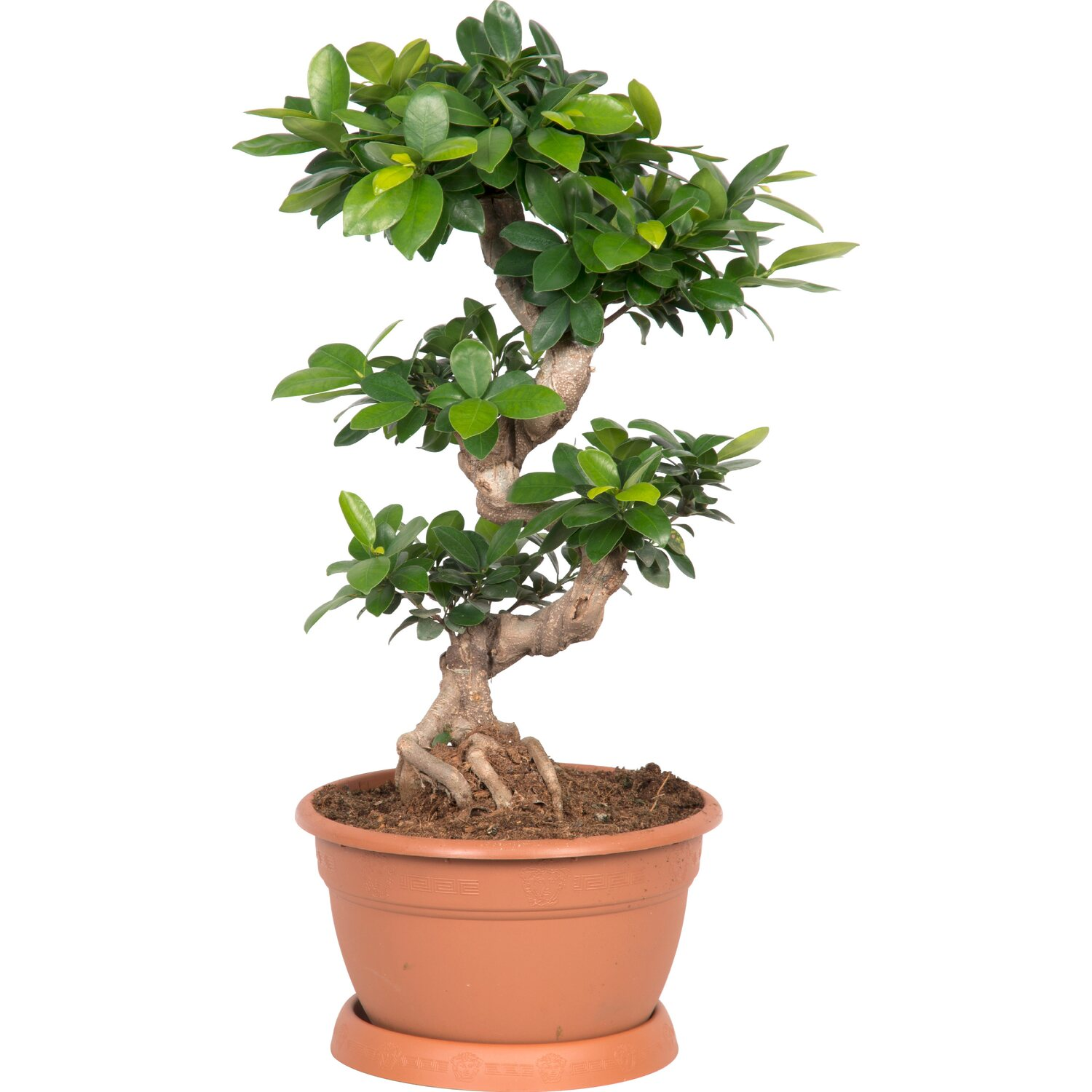 bonsai thai ficus ginseng 25 cm acquista da obi. Black Bedroom Furniture Sets. Home Design Ideas