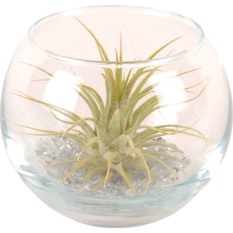 Tillandsia in piccola boccia di vetro rotonda acquista da obi for Tillandsia prezzo