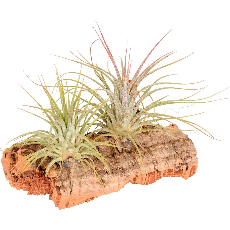 Tillandsia composizione piccola 2 piante su legno di for Tillandsia prezzo